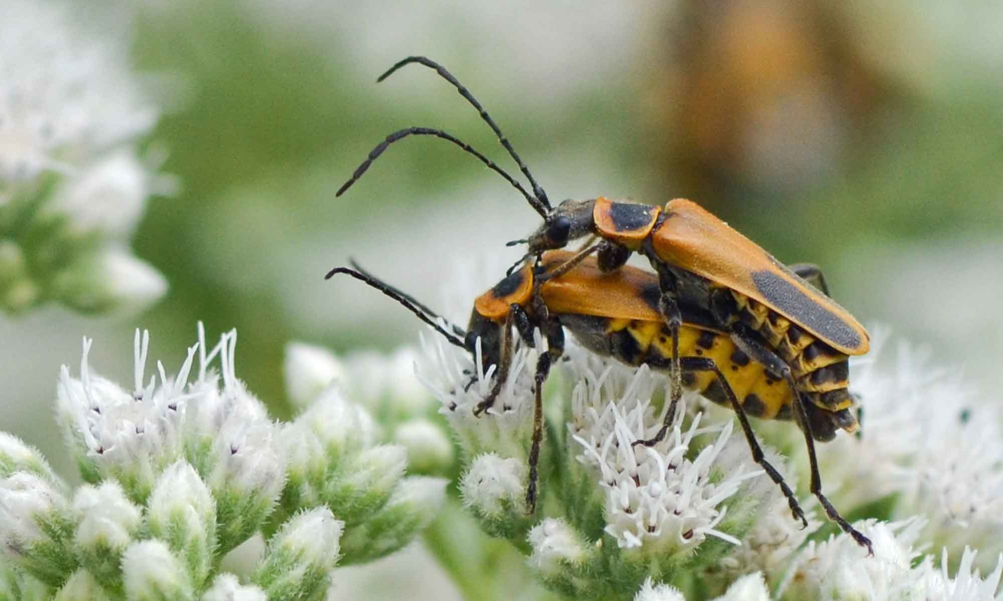 online closer the look in identification insects feeder city requires triatoma kissing bug